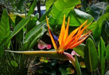 Bird of Paradise Flower Farming in India.