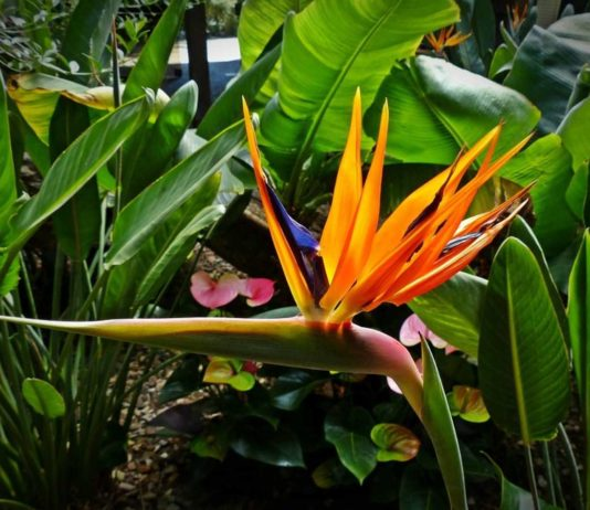 Bird of Paradise Flower Farming in India.
