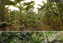 Curry Banana Cultivation Income.