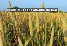 Bajra Cultivation Income, Project Report.