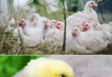 Starting Broiler Chicken Farm in India.