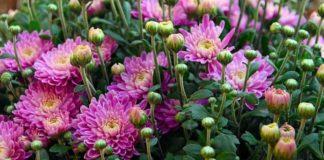 Chrysanthemum Farming in Polyhouse.