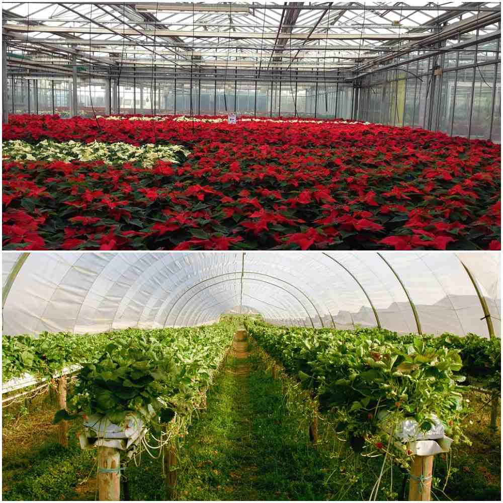 Greenhouse Cultivation in India.