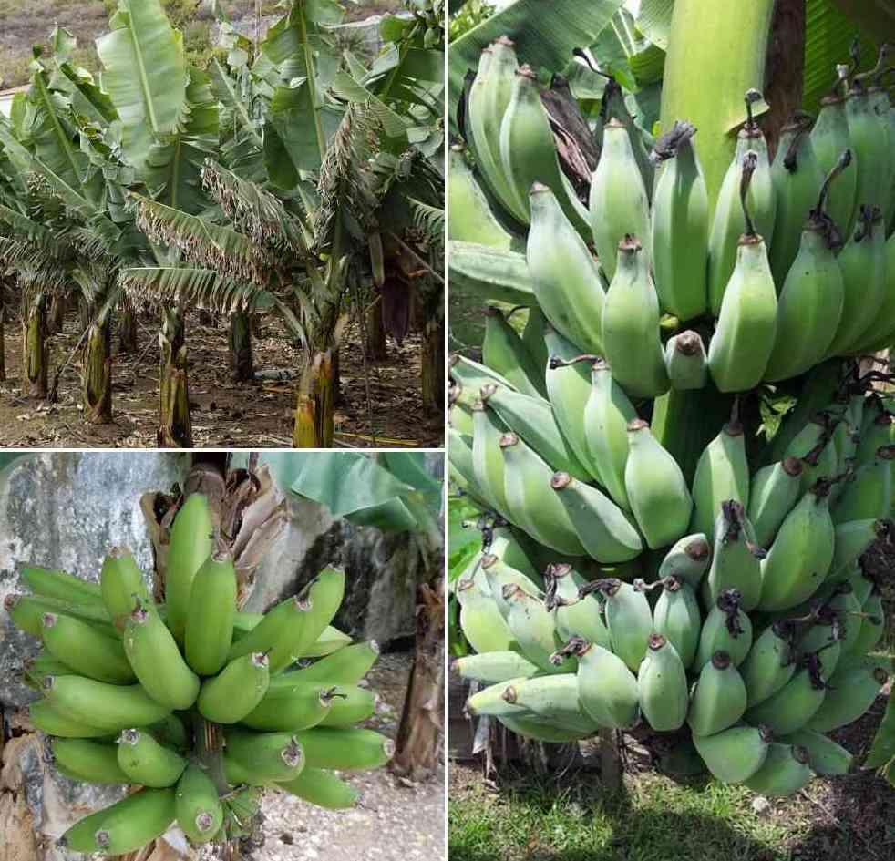 Raw Banana Farming Income ,Cost