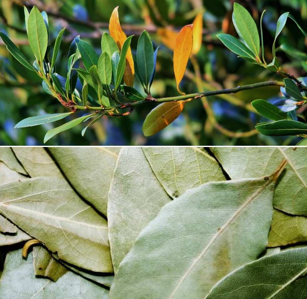Bay leaf Farming Project Report, Income.