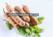 Tamrind Cultivation Income, Profits.