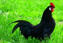 Chicken Breeds List.