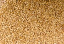 Sesame Cultivation Income.