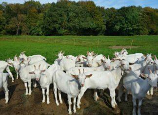 Goat Farming for Dummies.