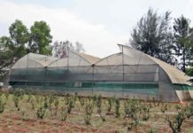 Stevia Farming in Polyhouse.