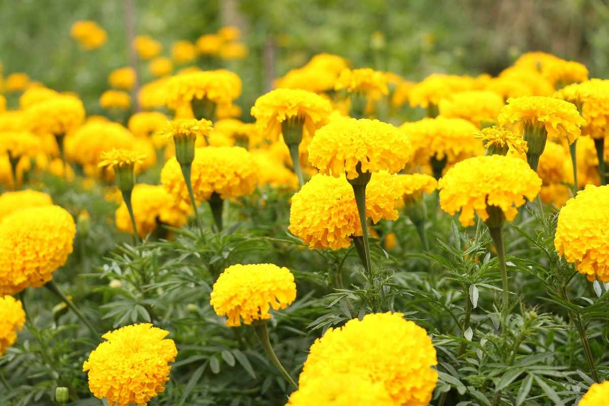 A Guide to Groiwng Marigolds.