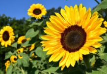 Sun Flower Cultivation Income.