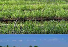 Ring-pit Method of Sugarcane Cultivation.