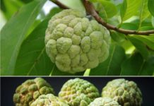 Custard apple Cultivation Income, Project Report.