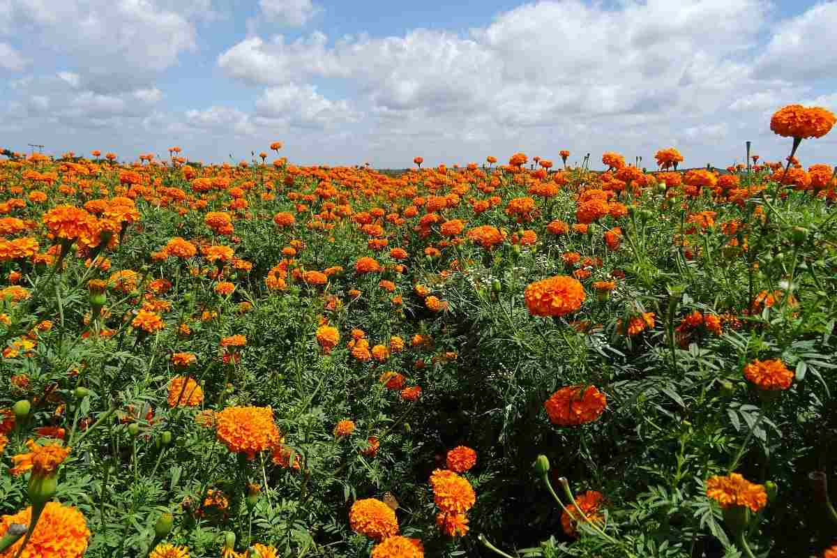 Controlling Weeds in Marigold.
