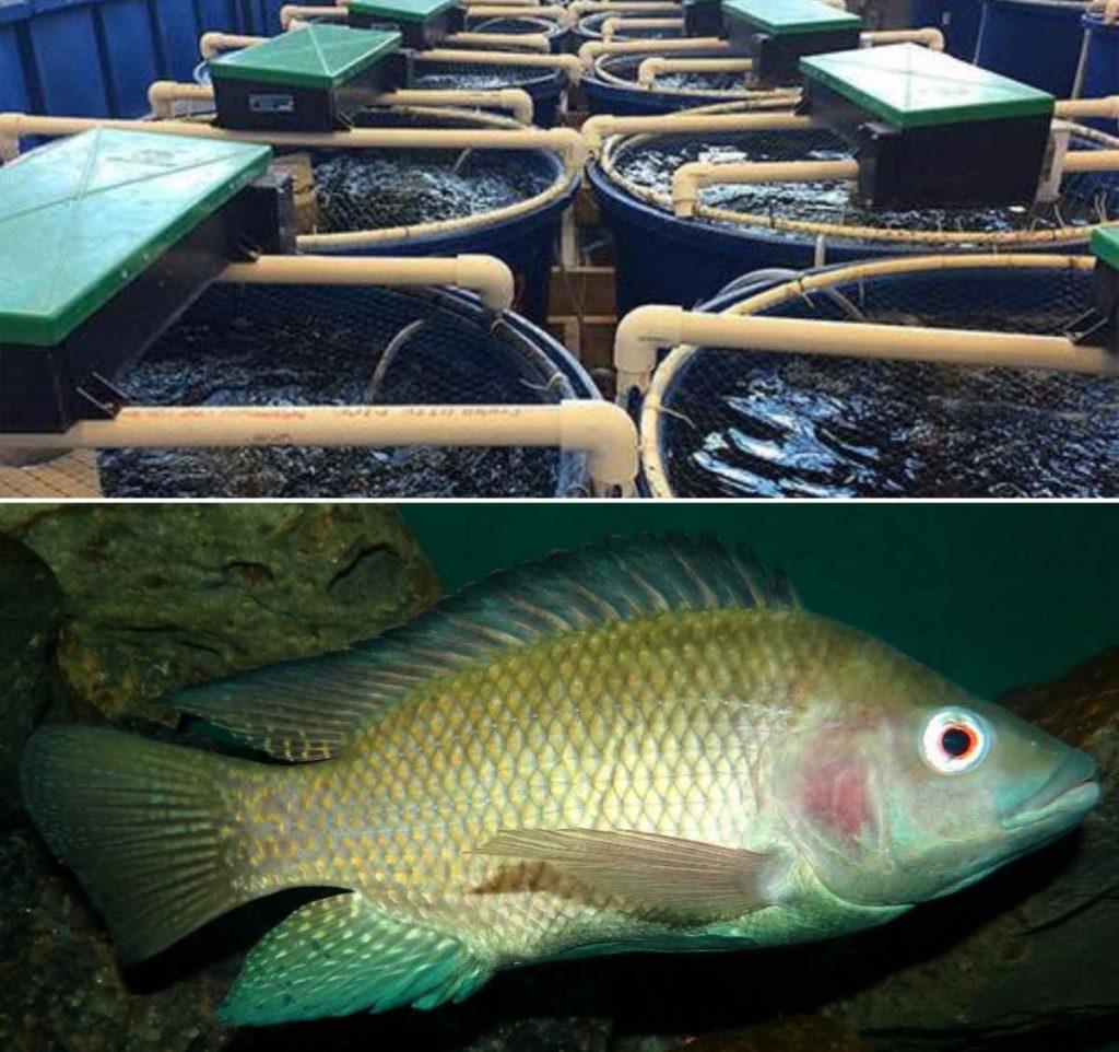 Recirculating Aquaculture System for Tilapia Fish.