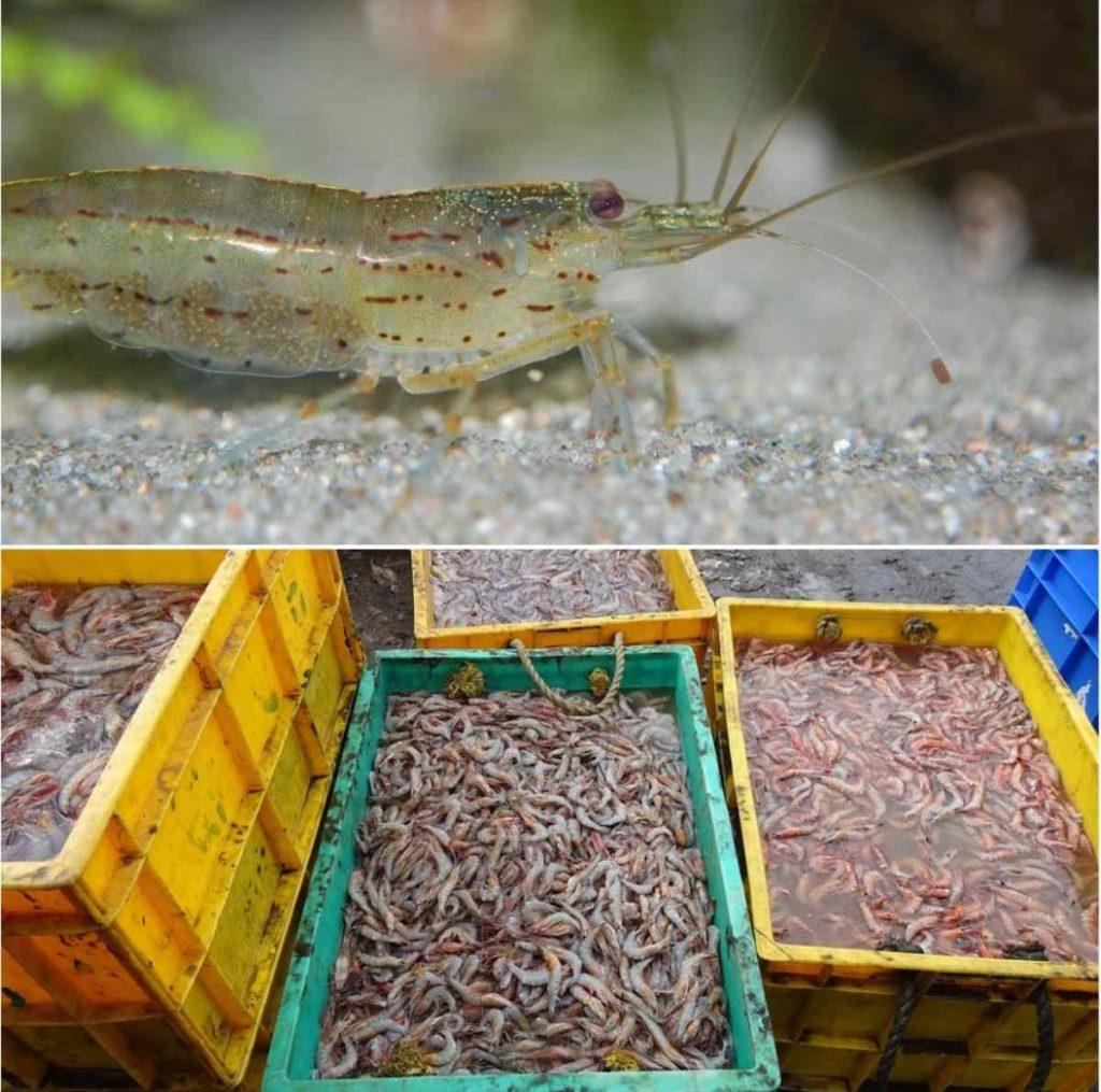A Guide to Shrimp Aquaculture.