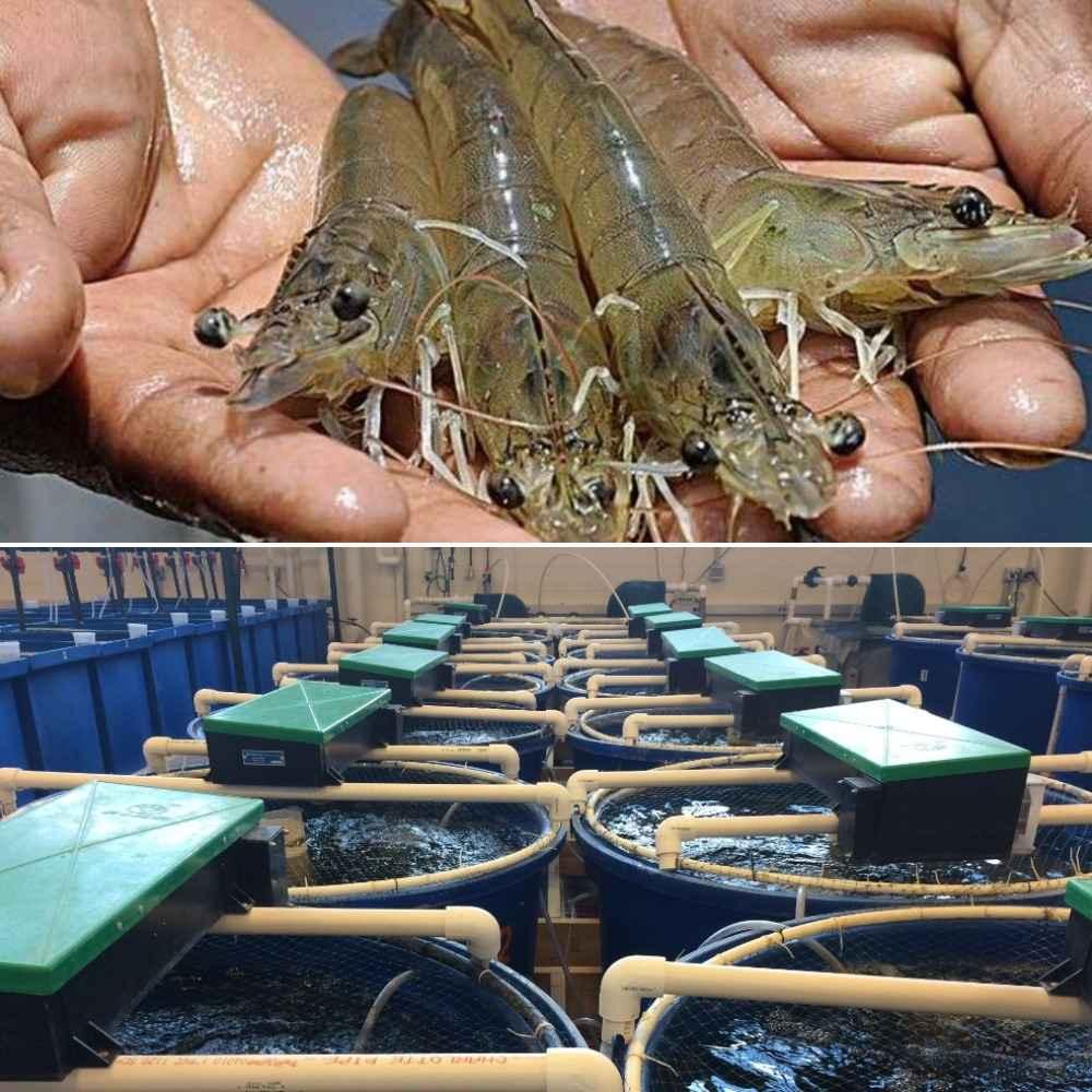 Guide to Shrimp RAS System.