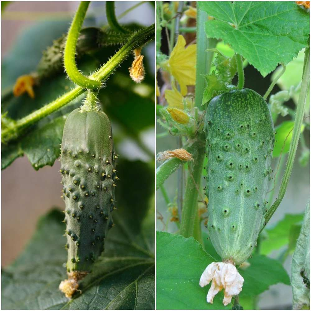 Gherkin Harvesting Process.