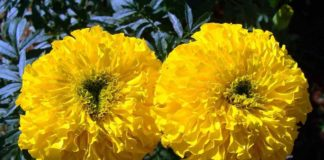 Marigold Seed Germination, Seed Rate, Planting.