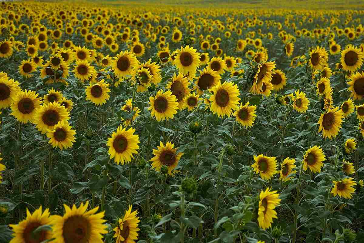 The Total Income from Sunflower Farming.