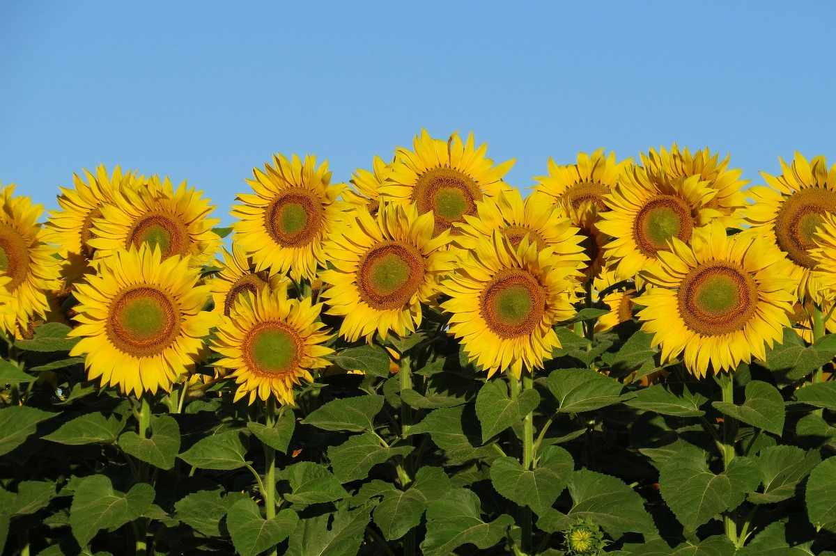 The Plant Protection Measures of Sunflower.