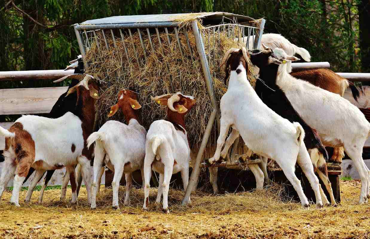Feed Management of Goats.