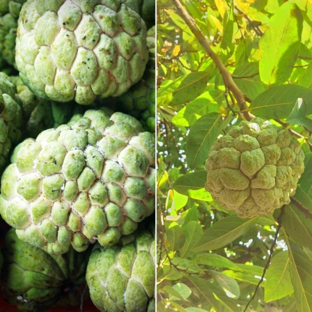 The Yield of Custard apple per Acre.