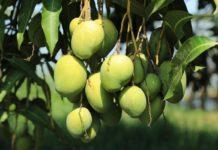Mango Cultivation Income.