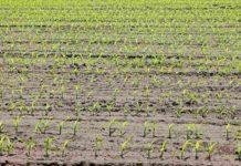 Crops Suitable for Sandy Soil.