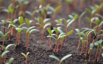 Vegetable Seed Rate.