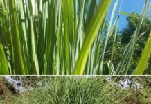 Lemongrass Farming Business Plan.
