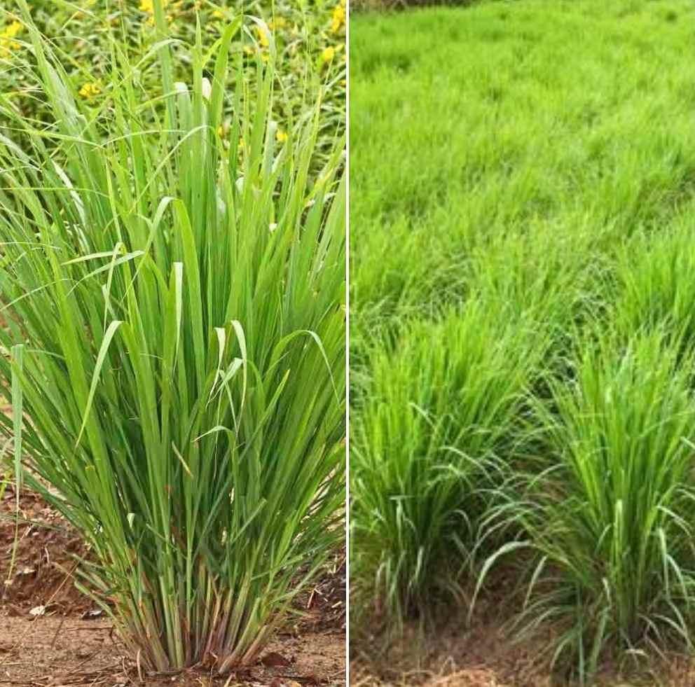 Lemongrass Farming Business Plan for Dummies | Agri Farming