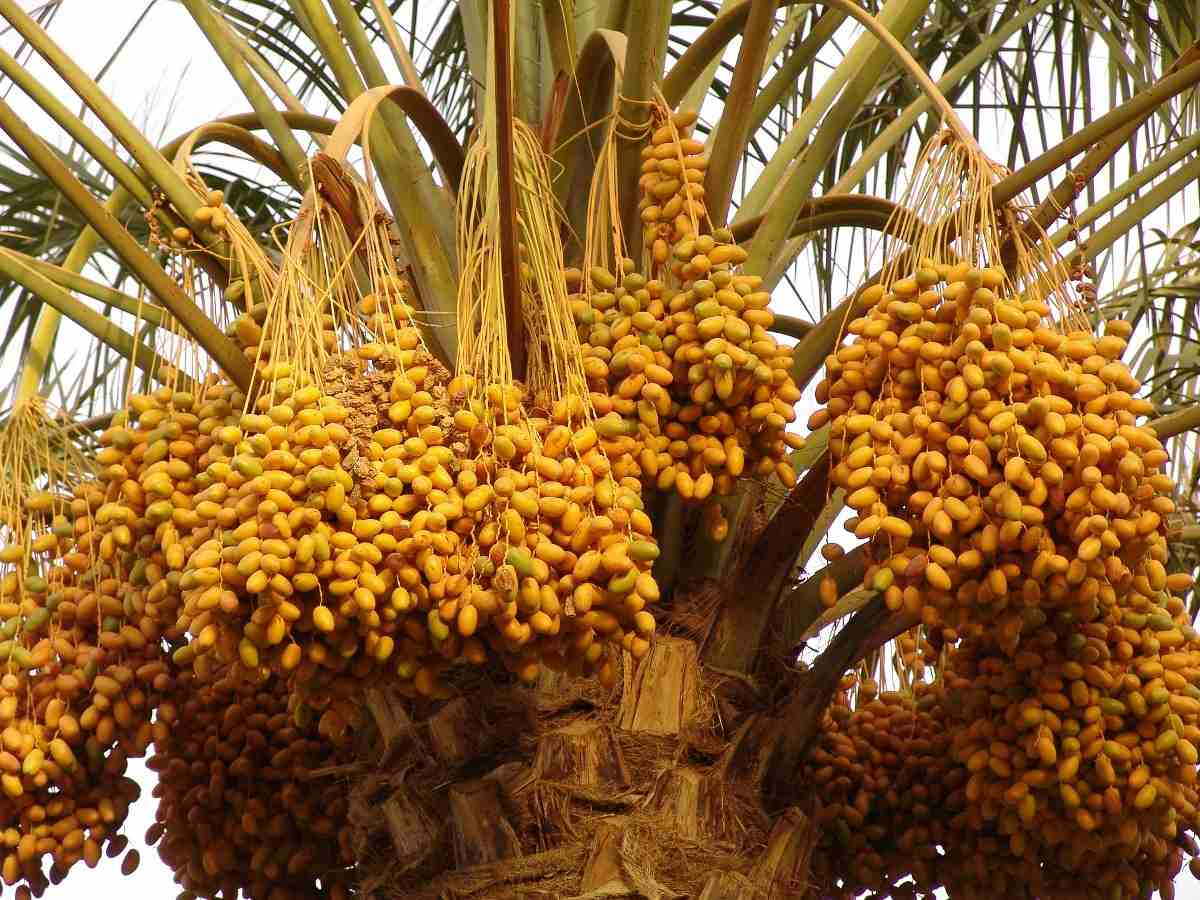 Dates Palm Tree from Tissue Culture.