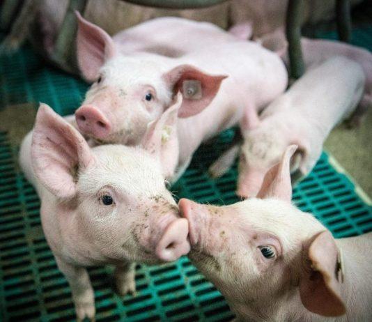 A Guide to Pig Farming.