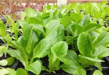 Growing Leafy Vegetables in Pots.
