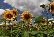 Sunflower Seed Germination.