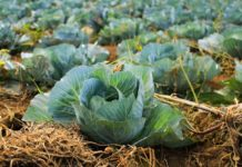 Organic Cabbage Farming.