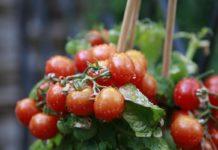 Drip Irrigation for Vegetables.