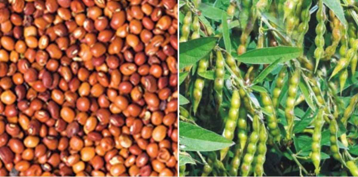 A guide to Red gream seed sprouting.