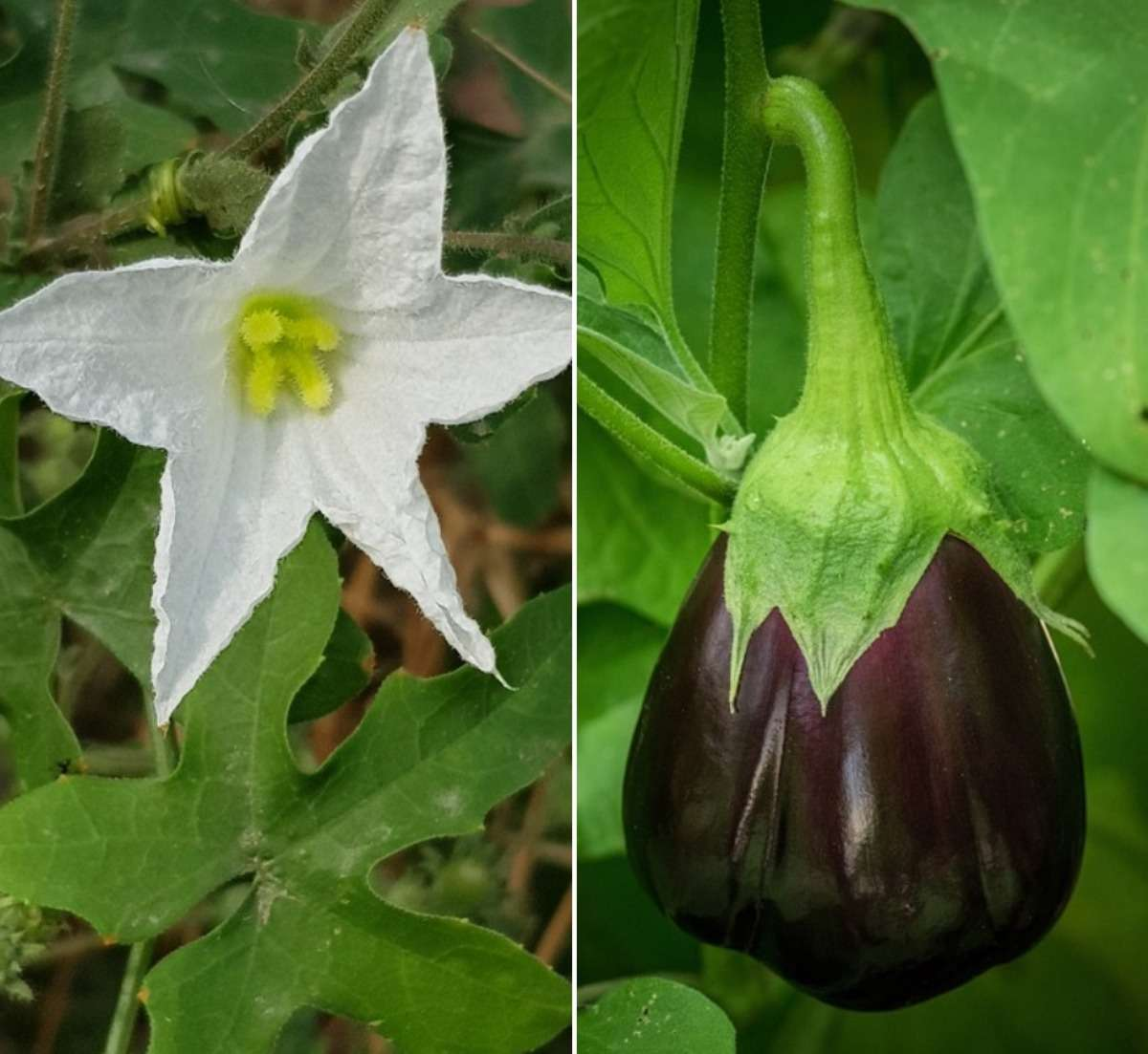A guide to Eggplant flower drop reasons.