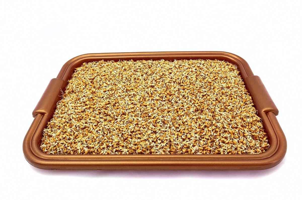 A guide for Wheat seed germination.