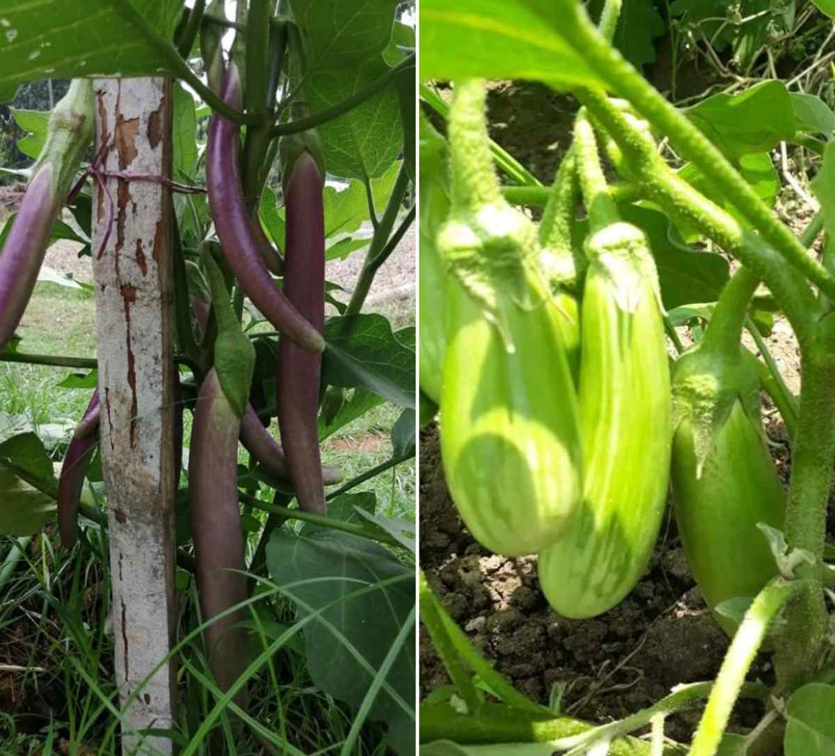 Conditions for growing Eggplant.