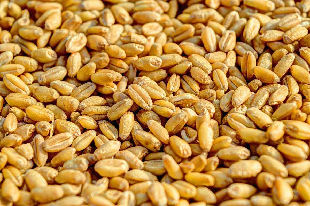 Common questions about Wheat seed, crop.