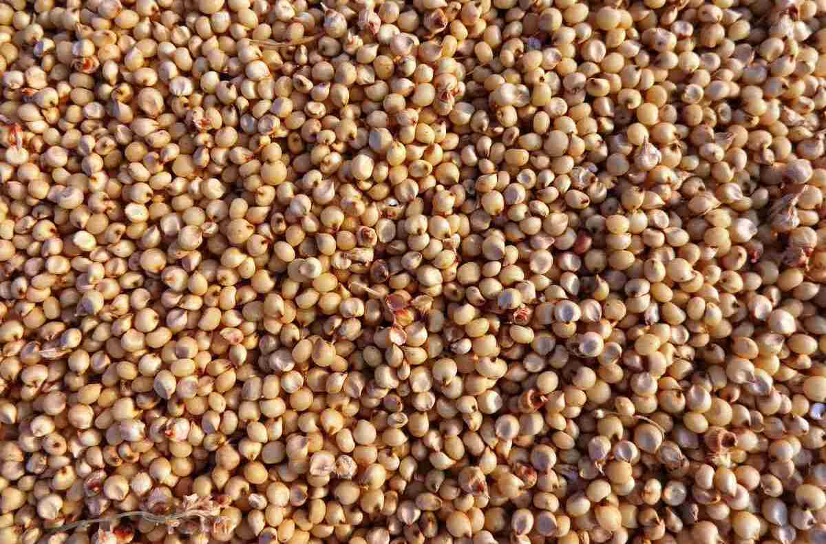 A guide to Sorghum Seed Germination.