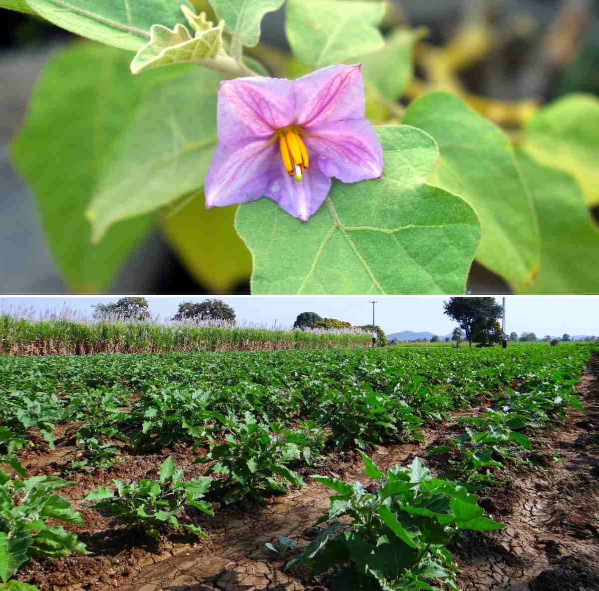 Common questions about Eggplant flower drop.