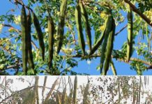 Moringa Pests.
