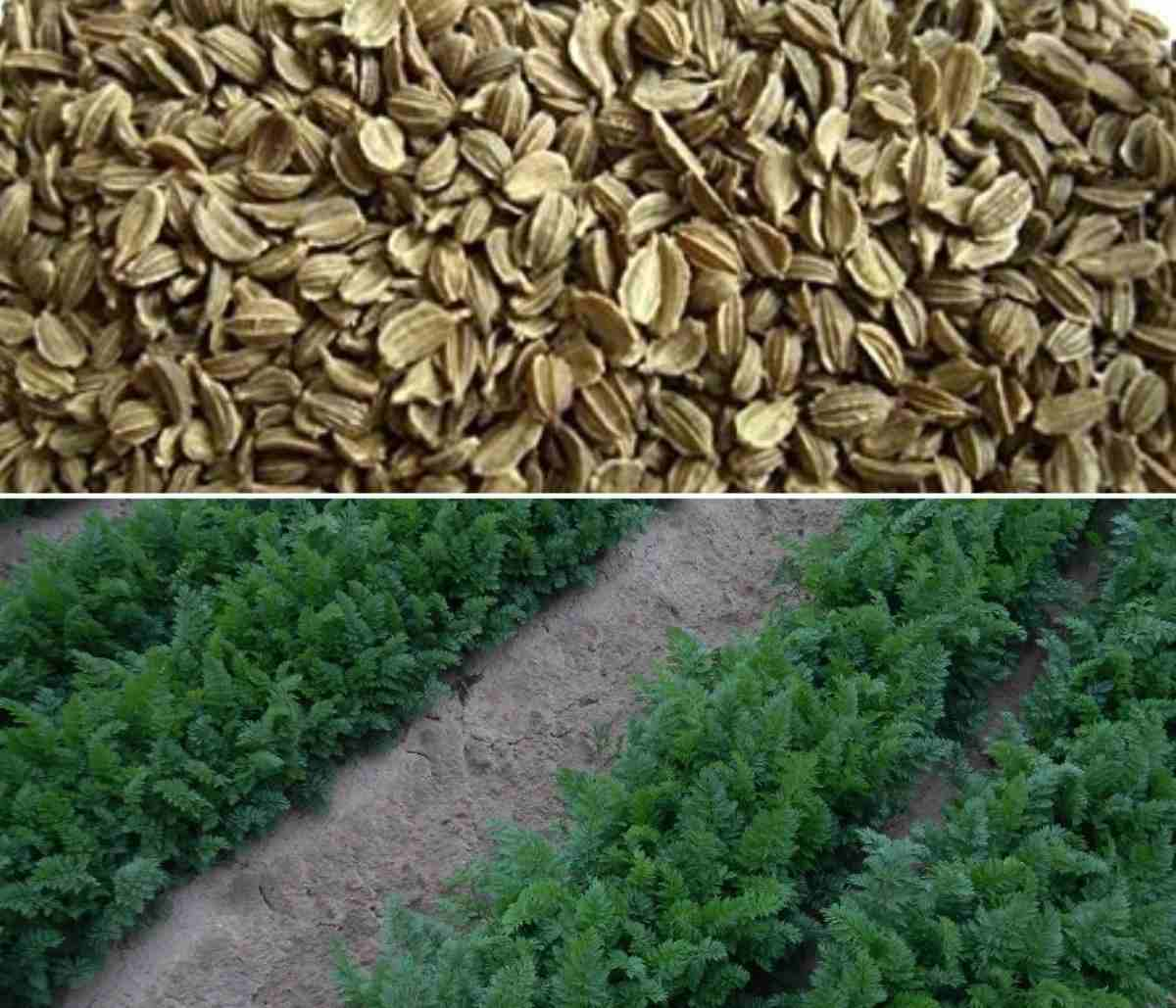 Carrot Seed Germination, Time, Seed Sowing Method
