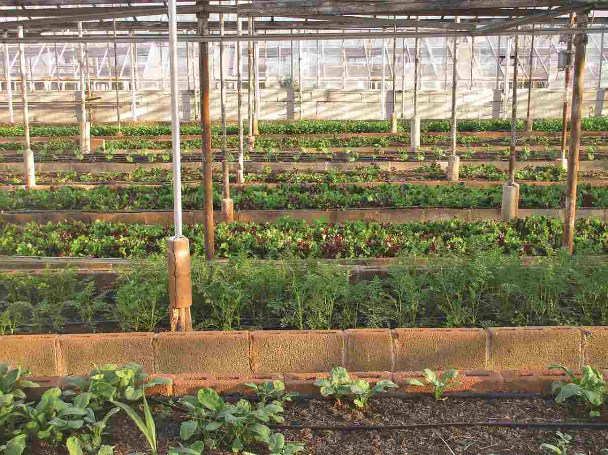 Polyhouse cultivation.