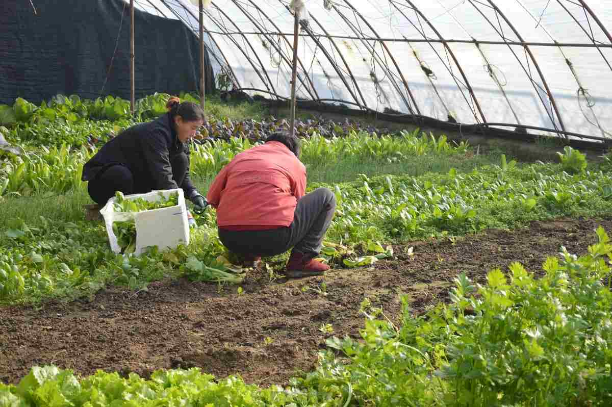 Growing Vegetables in the Greenhouse.